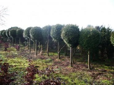 kwekerij ronde bomen
